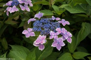 hydrangea macrophylla violacea, Holehird Gardens, lake district, cumbria, lakeland horticultural society