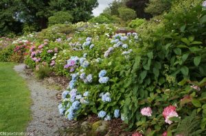 hydrangea walk, Holehird Gardens, lake district, cumbria, lakeland horticultural society
