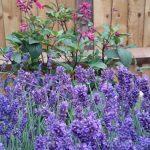 lavender, penstemon, planting scheme, ornamental edible garden, garden designer, garden desgn, planting design, garden project, planting borders