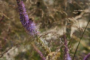 perennial sanctuary garden, bee,Gardens for a Changing World, rhs hampton court flower show 2017