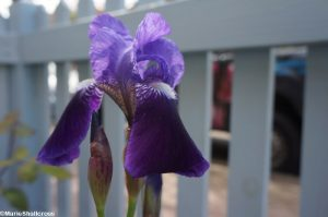 purple iris, blue picket fence, front garden design, garden fences, picket fencing, pallisade fencing, bearded iris, garden designer