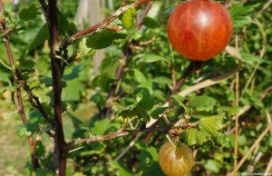red gooseberries, soft fruit, perennial fruit, edible gardens, grow your own fruit, kitchen garden, allotment