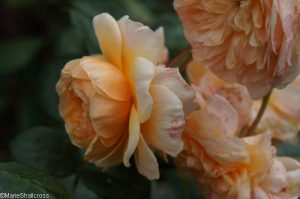rosa port sunlight, englich musk rose, scented flower, holehird gardens, lakeland horticultural society