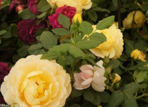 rose golden celebration, rosa golden celebration , deciduous shrub, repeat flowering, strong fragrance