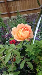 rose lady of shallot, ornamental edible garden, garden designer, garden desgn, planting design, garden project