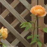 rose lady of shallot, diamond trellis, perennial planting, garden design, plantng design, garden project