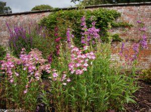 tall perennials, walled garden, holehird gardens, penstemons, lakeland horticultural society