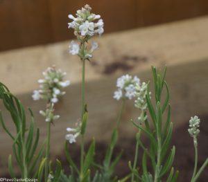 white lavender, garden designer, planting design, garden project, planting scheme, perennial planting, ornamental edible garden