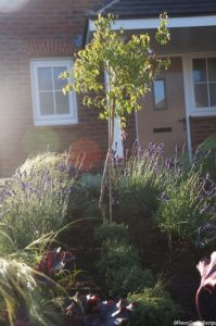 front garden design, standard fuchsia, thymes, thymus serpyllum, thyme russettings, lavender, heuchera, stipa tenuissima, planting scheme, formal planting scheme, parterre style front garden