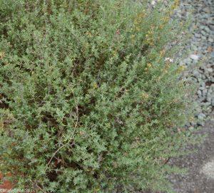 orange scented thyme, thymus fragrantissima, herb garden, thyme garden
