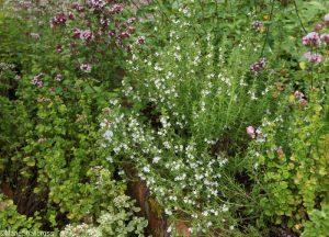 mixed thymes, thymus, thyme, herb garden, thyme garden