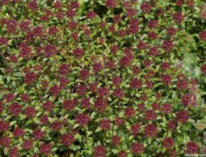 thymus serpyllum russettings, red flowers, thyme, creeping thyme, thyme garden, herb garden