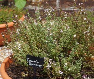 thymus vulgaris french summer, thymus, herb garden, thyme garden, iden croft herbs, container growing