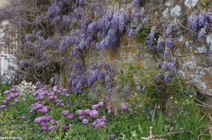 wisteria, tulips, spring, Trerice, cornwall, cornish gardens