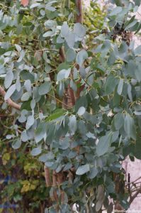 Eucalyptus, juvenile foliage, coppiced eucalyptus, managed woodland, decorative bark