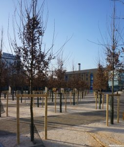 birch trees, excel centre, london, urban trees