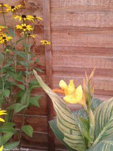 canna tropical gold, rudbeckia fulgida, planting scheme, garden design, late summer yellow flowers