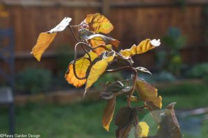 corylus avellana red majestic, corkscrew hazel, garden design