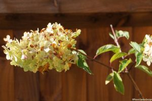hydrangea paniculata vanille fraise, scented flower, deciduous shrub