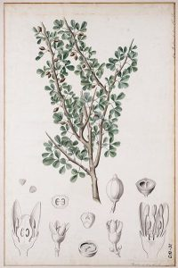 balm of gilead, commiphora gileadensis, Balsamodendron ehrenbergianum, book illustration; 1881, https:/upload.wikimedia.org/wikipedia/commons/d/d5/Balsamodendron_ehrenbergianum00.jpg