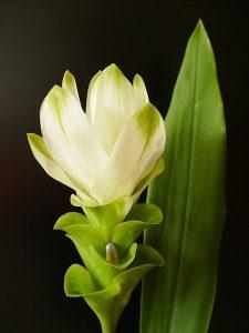 Curcuma longa, turmeric, golden spice, flower, By Lucien Monfils, https:/upload.wikimedia.org/wikipedia/commons/4/47/Curcuma_longa.jpg