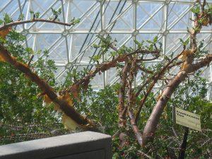 Boswellia sacra, frankincense tree, biosphere, greenhouse, unitversity of arizona, peeling bark, resin, https:/upload.wikimedia.org/wikipedia/commons/8/81/Boswellia-sacra-greenhouse.jpg