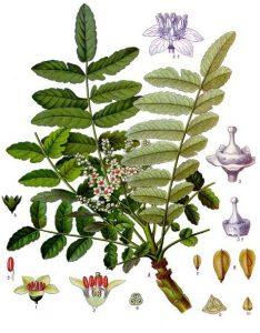 Boswellia sacra, frankincense, Köhlers Medicinal plants illustration 1897, https:/upload.wikimedia.org/wikipedia/commons/d/da/Boswellia_sacra_-_K%C3%B6hler%E2%80%93s_Medizinal-Pflanzen-022.jpg
