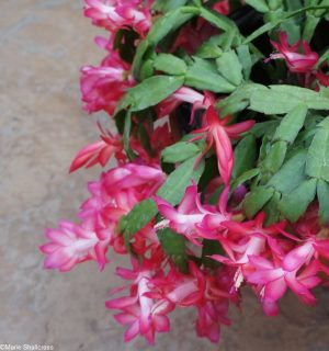 Christmas cactus dark pink flower, tropical cactus, schlumbergera truncata