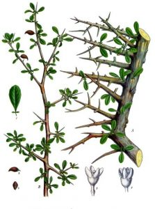 myrrh, Commiphora myrrha, Köhlers Medicinal plants illustration 1897, https:/upload.wikimedia.org/wikipedia/commons/8/86/Commiphora_myrrha_-_K%C3%B6hler%E2%80%93s_Medizinal-Pflanzen-019.jpg