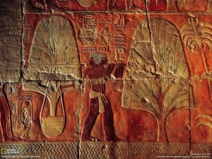 Queen Hatshepsut's expedition to Punt, myrrh trees with bound rootballs, ancient egypt, tomb fresco, copyright national geographic, by kenneth garrett