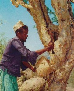 myrrh, Commiphora myrrha, resin, Somali man harvesting Myrrh from tree, https:/upload.wikimedia.org/wikipedia/commons/c/c5/Somali_man_Myrrh_tree.jpg