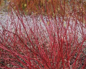 cornus alba siberica, rubus, dogwood, winter gardens, coloured stems