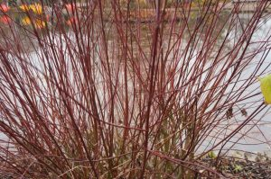 cornus amomum, dogwood, winter gardens, coloured stems, lake
