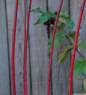 cornus sibirica, leycesteria formosa, dogwood, winter gardens, coloured stems