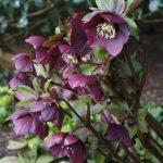 Hellebores, purple flowers, herbaceous perennial, winter flowering, spring flowering, lenten rose, christmas rose