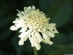 giant scabious flower, cephalaria gigantea, bee friendly,architectural plant, herbaceous perennial, wildlife friendly