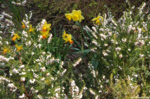 heather, daffodils, narcissus, spring flowering bulb, small perennial shrub