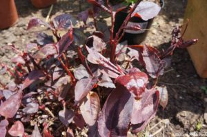 persicaria red dragon, young growth
