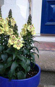 yellow snapdragons, blue pot, blue front door, front gardens, summer bedding plants