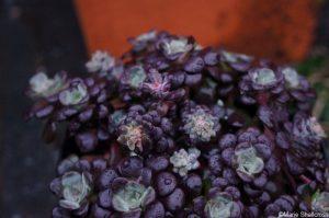 sedum spathulifolium purpureum, alpine plant, perennial