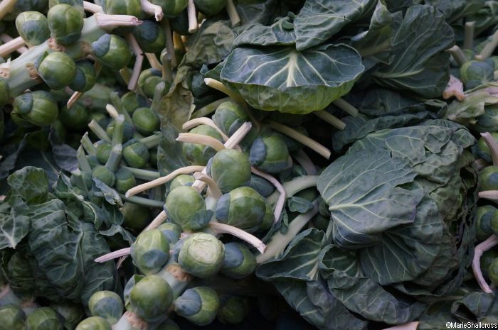 sprouts on stems, brussels sprouts, brassica oleracea, vegetables, edible plants,