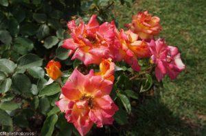 rose picadilly, hybrid tea rose, orange, peach and yellow flower, rose garden