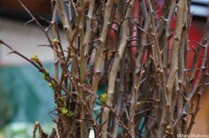 bare root hawthorn plants, crataegus monogyna, hedge plant, native species