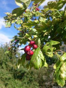 hawthorn, haw berries, crataegus monogyna, fruit, native species
