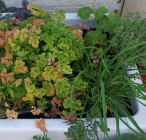 herbs in a belfast sink, parsley, chives, thyme