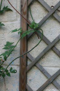 trellis, garden wall, jasmine
