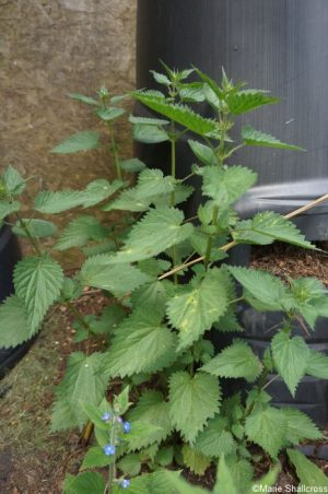 nettles, compost bin, urticaria dioecia