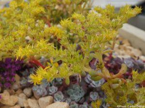 sedum spathulifolium purpureum, alpine, rockery garden, raised bed, succulent, green roof