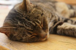 Pippin, tabby cat, asleep on table in the sun