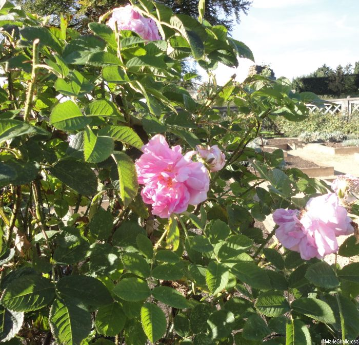 Rosa x alba great maidens blush, kenilworth castle, historic garden, restored historic garden, earl of leicester, elizabeth tudor